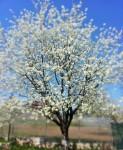 cherry tree (3)